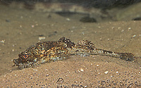 Steinpicker, Agonus cataphractus, pogge, hooknose, hook-nose, armed bullhead