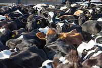 Dairy cows in a collecting yard for milking, Oxford, Oxfordshire.