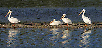 A small group of American White Pelicans.