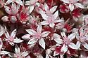 English stonecrop (Sedum anglicum) flowers. Devon, UK. June.