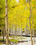 Aspen Thicket, San Francisco Peaks, Arizona ©2018 James D Peterson.  An early fall snowfall created this luminous view on the slopes of the highest peak in Arizona.