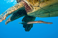 This trumpetfish, Aulostomus chinensis, is traveling over a reef with a male green sea turtle, Chelonia mydas, an endangered species, in an attempt to ambush an unsuspecting fish. Maui, Hawaii.