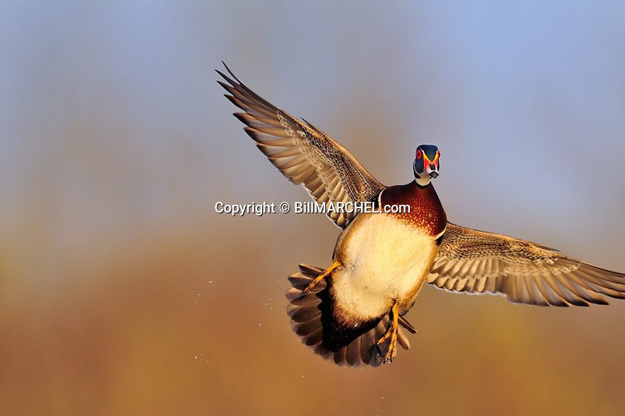00360-116.09 Wood Duck drake in flght has wings set and feet out as it is about to land.  Action, color, hunt.