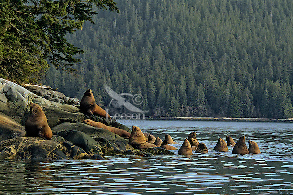 Steller's Sea Lions or Northern Sea Lions hauled out on small island off the mouth of the Stikine River, Inside Passage, Southeast Alaska.