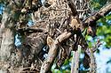 Straw-coloured fruit bats (Eidolon helvum) at daytime roost in 'Mushitu' (ever-green swamp forest). Kasanka National Park, Zambia.