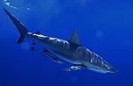 Sunlit Gray Reef Shark, carcharhinus perezi with Ramora