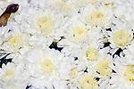 White and cream chysanthemum plant