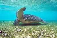 green sea turtle, Chelonia mydas, feeding on seagrass, Sipadan Island, Sabah, Borneo, Malaysia, Pacific Ocean