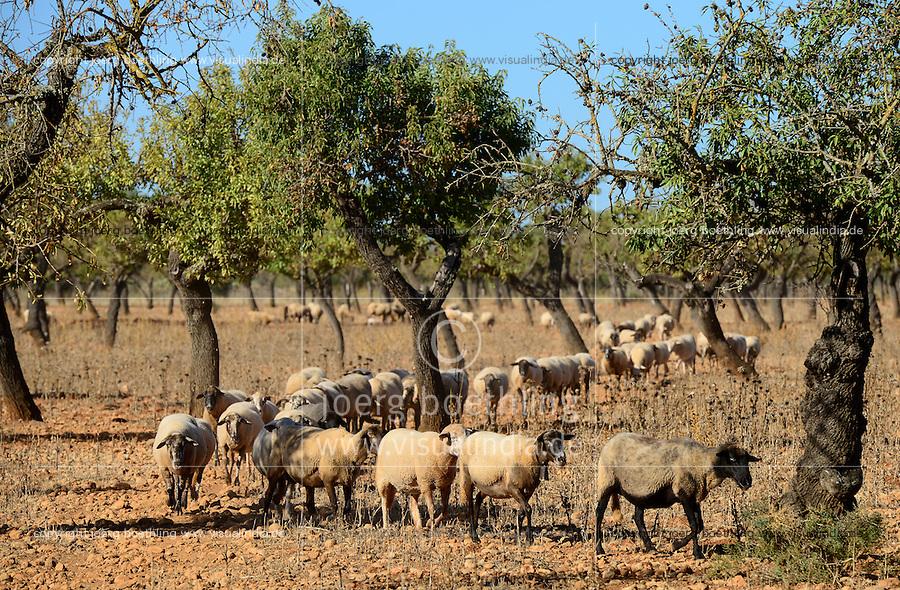 SPAIN Mallorca, Binissalem, Finca Biniagual, almond trees, sheep breeding / SPANIEN Mallorca, Binissalem, Finca Biniagual, Mandelbaeume, Schafhaltung
