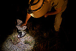 African Civet (Civettictis civetta) killed on road being examined by biologist, Jake Overton, at night, Kafue National Park, Zambia