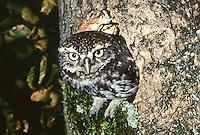 Steinkauz, guckt aus Baumhöhle heraus, Stein-Kauz, Kauz, Käuzchen, Athene noctua, little owl