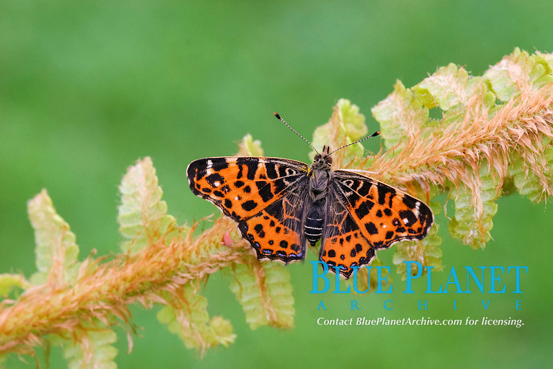 Map Butterfly (Araschnia levana), adult, first generation, basking on fern frond, France, Europe