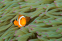 Clown anemonefish, Amphiprion ocellaris, Amami-ohsima island, Kagoshima, Japan, Pacific Ocean