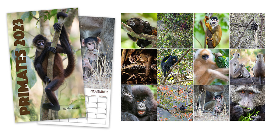 """**For international orders, please click on the red text in the top right corner.**<br /> <br /> The 2022 Primates calendar features different primate species photographed around the world, including a number of vulnerable and endangered animals.<br /> <br /> Each month's photo measures a full 11 x 11, so these calendars now look even better on your wall. Calendars are printed on full 11"""" x 17"""" pages, spiral-bound at the top. Each interior page contains an image and full calendar for the month, so they are the equivalent of an 11"""" x 8.5"""" calendar that is folded open. Note that these calendars do not come with a pre-punched hole for hanging."""