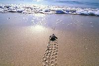 loggerhead sea turtle hatchling, Caretta caretta, crawls across nesting beach toward ocean, Juno Beach, Florida, Atlantic Ocean