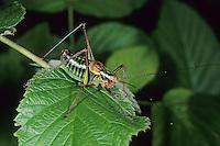 Nadelholz-Säbelschrecke, Nadelholzsäbelschrecke, Säbelschrecke, Waldheuschrecke, Wald-Heuschrecke, Männchen, Barbitistes constrictus, eastern sawtailed bushcricket, male, Tettigoniidae