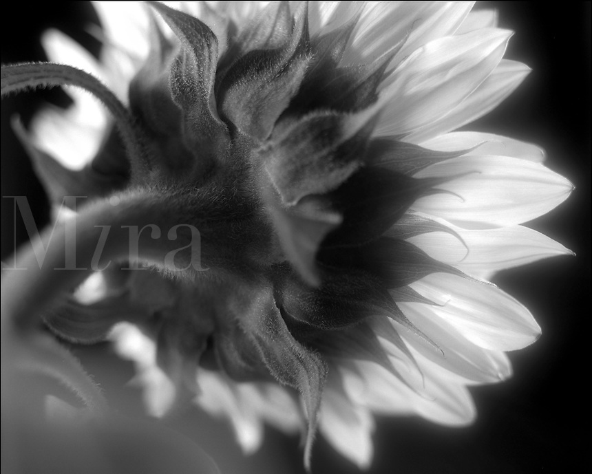 Black & white image of the back view of glowing sunflower.