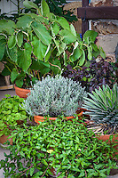 Herbs of the world in containers on patio, Kava Kava, Gotu Kola, santolina, vietnamese coriander, Red Shiso, Agave