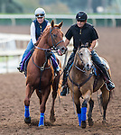 ARCADIA, CA - NOV 01: Dortmund, owned by Kaleem Shah, Inc and trained by Bob Baffert, exercises in preparation for the Breeders' Cup Las Vegas Dirt Mile at Santa Anita Park on November 1, 2016 in Arcadia, California. (Photo by Kazushi Ishida/Eclipse Sportswire/Breeders Cup)