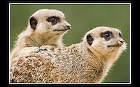 Meerkat (Suricata suricatta) - Zoological Society of London - 13th April 2007