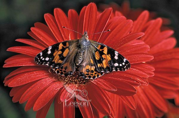 Painted Lady Butterfly (Cynthia cardui) on Gerbera Daisy (Gerbera jamesonii)..Southern British Columbia, Canada.