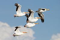 American White Pelican (Pelecanus erythrorhynchos) flock in flight. Lake County, Oregon. April.