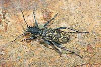 Dunkler Holzklafterbock, Grauer Espenbock, Holzwespenbock, Bauernbock, Xylotrechus rusticus, Rusticoclytus rusticus, aspen zebra beetle