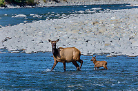 Roosevelt Elk (Cervus canadensis roosevelti) cow and calf, sometimes called Olympic Elk, wading river.  Olympic National Park, WA.  June.
