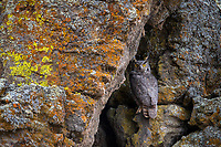 Great Horned Owl roosting in a cliff crevice. Tule Lake NWR, California.