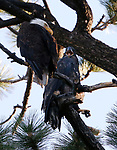 Bald eagles near Markleeville, Ca., on Monday, July 13, 2020. <br /> Photo by Cathleen Allison/Nevada Momentum