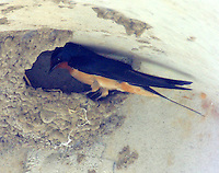 Barn swallow at nest