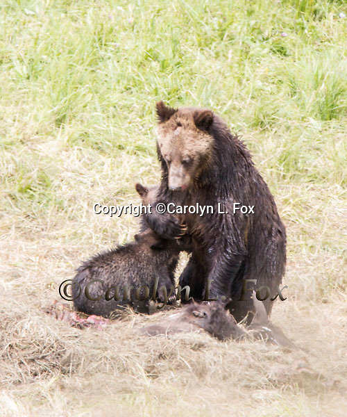 An old grizzly bear sow has had two more cute little cubs.