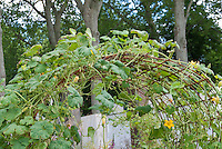 Squash Arbor with vegetable vines growing