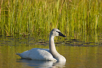 Trumpeter swan swims in a small tundra pond along the George Parks Highway in Interior, Alaska.