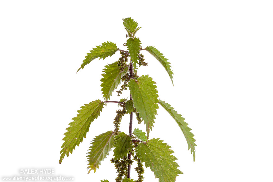 Stinging Nettle {Urtica dioica}, hotographed in mobile field studio against a white background. Derbyshire, UK. September.