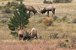 American elk, wapiti, Cervus elaphus, bull, antlers, sparring, rut, October, fall, autumn, morning, wildlife, mammal, nature, Beaver Meadows, Rocky Mountain National Park, Colorado, USA