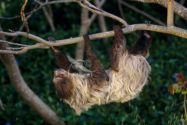 Two-toed sloth (Choloepus didactylus), found in S. America