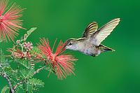 Calliope Hummingbird (Stellula calliope), female feeding on flower, New Mexico, USA