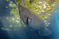 African manatee, West African manatee, Trichechus senegalensis, threatened species (c)