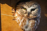Saw-Whet Owl in nest box, Chugiak Alaska.