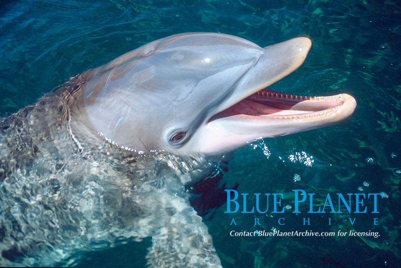 Bottlenose dolphin, Tursiops truncatus, Oahu, Hawaii, Pacific Ocean c