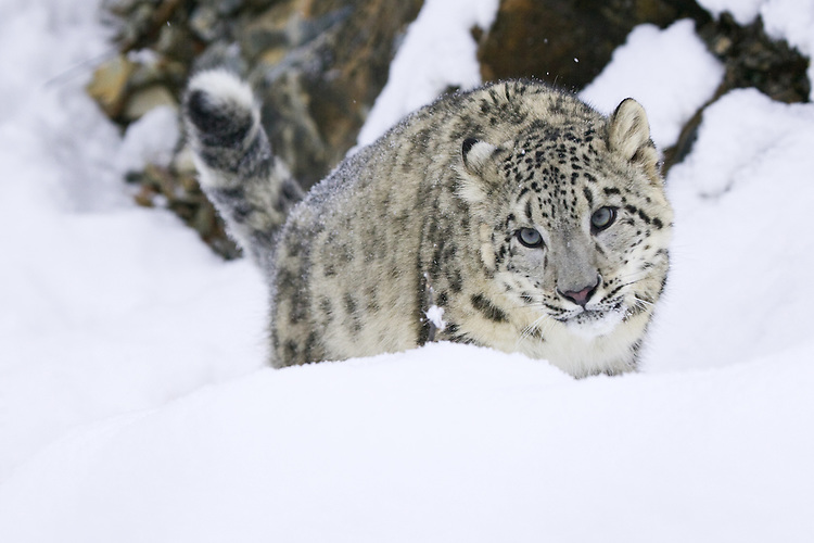 Snow Leopard standing in the snow in front of a rocky cliff - CA