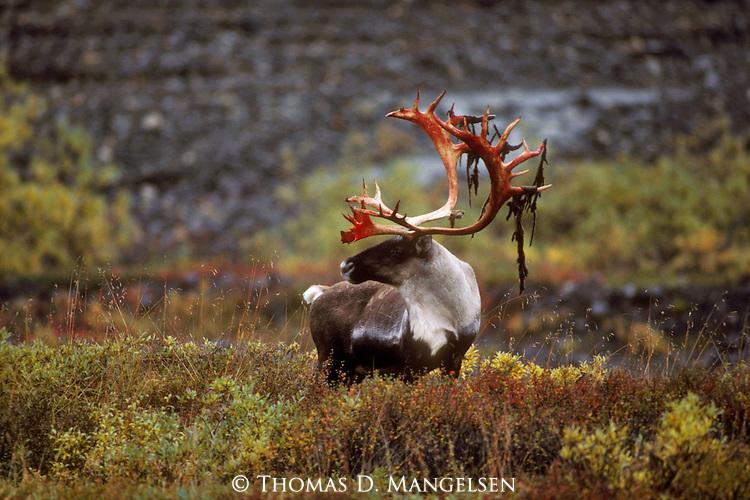 Portrait of a bull caribou shedding the velvet covering its antlers in Denali National Park, Alaska.