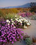 Anza-Borrego Desert State Park<br /> Dune evening primrose (Oenothera deltoides) and desert sand verbena (Abronia villosa) in Borrego Valley with morning light