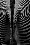 """""""Abstract Painting""""<br /> Zebra Display<br /> Museum of Natural History<br /> Manhattan, NY<br /> From the """"Captivity"""" series. <br /> © Thierry Gourjon-Bieltvedt"""