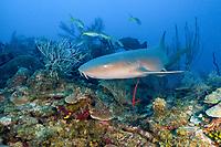 nurse shark, Ginglymostoma cirratum, Gardens of the Queen, Jardines de la Reina National Park, Cuba, Caribbean Sea, Atlantic Ocean