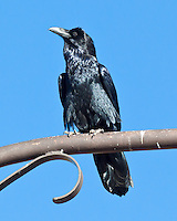 Common Raven, Arizonan Motel, Flagstaff, Arizona