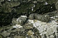 Graureiher, Gewölle, Speiballen aus unverdaulichen Nahrungsresten, Grau-Reiher, Fischreiher, Reiher, Ardea cinerea, Grey Heron, Héron cendré
