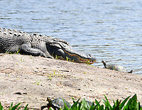Photographed at Green Cay Wetlands in Boynton Beach. I walked into one of the Tiki Hut type shelters and lo and behold this fabulous scene awaited my camera. Fortunately, for the turtles, the alligator was not hungry!