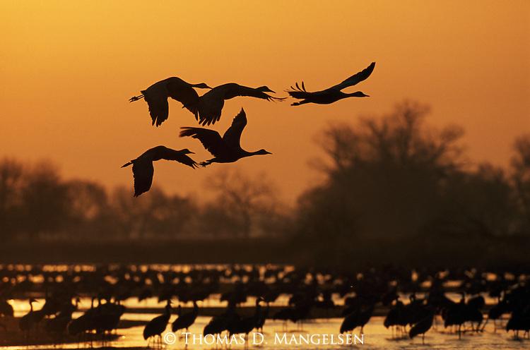 Sandhill Cranes in flight and standing in the Platte River, Nebraska
